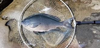 30日に日南市南郷の水島で釣友達が釣ったクロ(グレ)