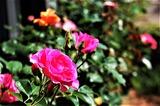 バラの花 (1)