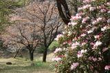 藤見公園のシャクナゲと桜 (1)