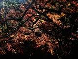 用作公園の紅葉 (14)