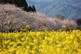 菜の花と桜 (6)