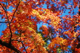 用作公園の紅葉 (1)