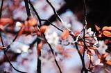 大坪の1本桜満開の葉っぱみ綺麗