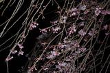 五ヶ瀬町・浄専寺・枝垂桜 (4)