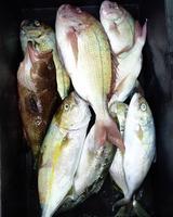 26日に浦城沖の船釣りで釣れたマダイ、ヘダイ、オオモンハタ