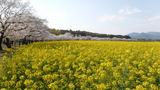 菜の花と桜 (8)