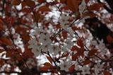 大坪の1本桜 (4)