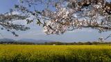 菜の花と桜 (9)