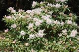 藤見公園のシャクナゲと桜 (2)