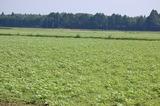 キャベツ畑のひまわり (6)
