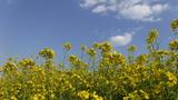 青空に映える菜の花 (3)