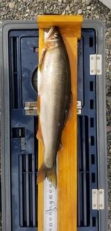 29日の川辺川の鮎の釣果 (2)