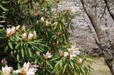 藤見公園のシャクナゲと桜 (6)