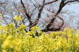 西都原公園の菜の花 (9)