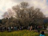 2010一心行の桜 (2)