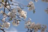 桜 (3)