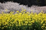 菜の花と桜 (7)
