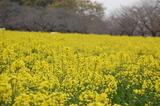 西都原公園の菜の花 (13)