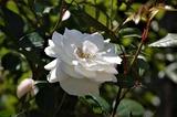 バラの花 (2)
