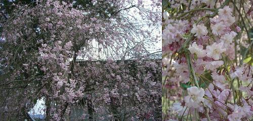 身延山の桜は最高!!
