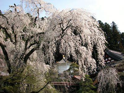 身延山のしだれ桜(資料写真/今年ではありません!)