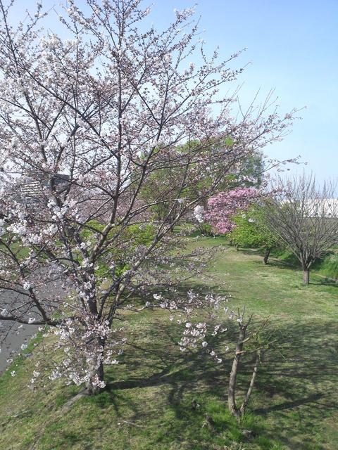 柏警察の横の桜