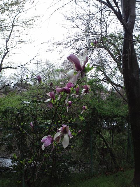 4月8日の木蓮と桜