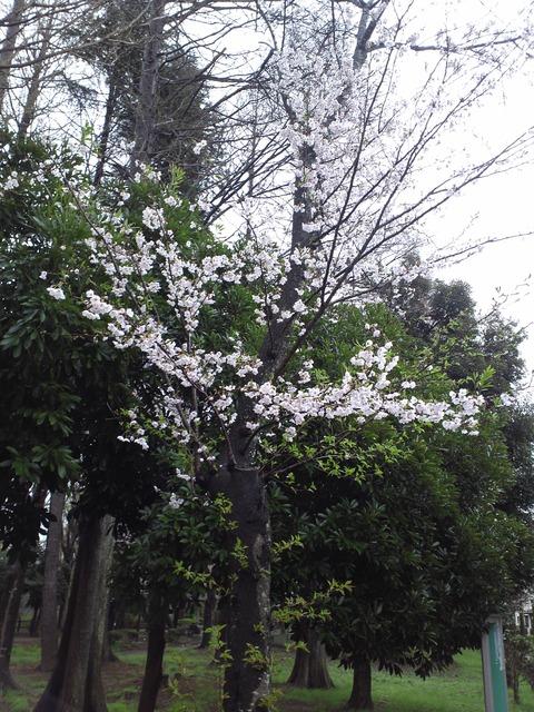 4月8日の桜1