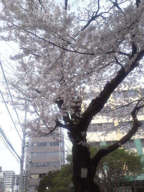 巻石堂病院の桜