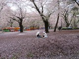 大宮公園で雨の中お花見する女性たち