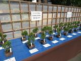 さいたま市議のミニ盆栽