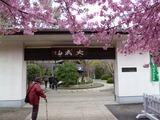 大成山普門院の門前に咲く「河津桜」が満開です