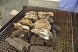 牡蠣(1年もの)