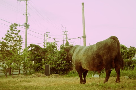 20130310たたずむ牛