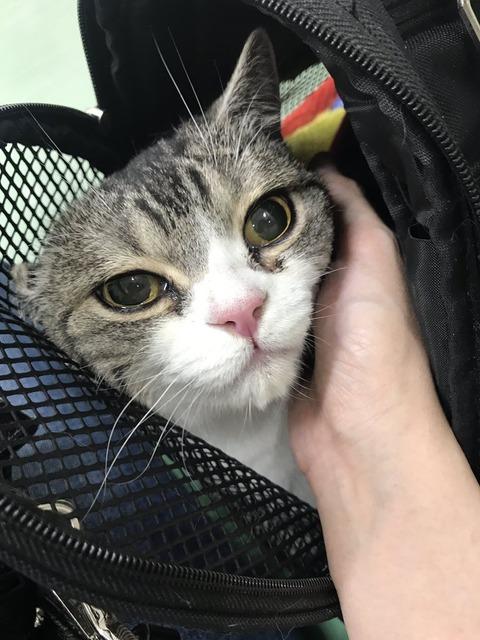 【謎の本末転倒感】おしっこが出なくて病院に連れてきたのに病院が怖すぎるあまり涙目でおしっこ漏らした猫