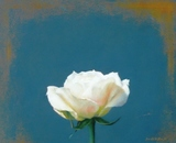 パステル画作品『白い薔薇』