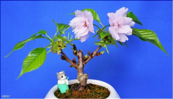 20180309桜の盆栽