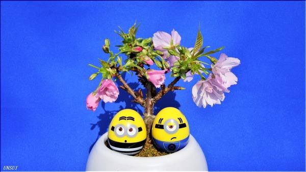 20180222桜の盆栽