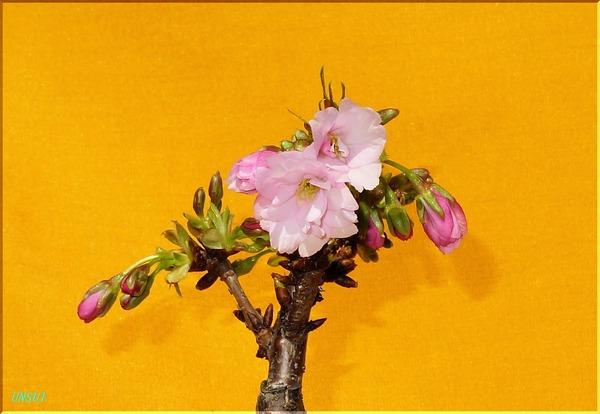02-18桜の盆栽4B