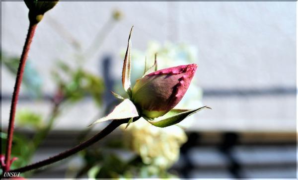 バラの蕾-1