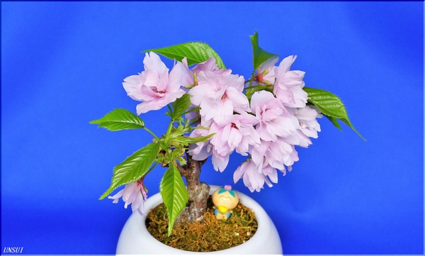 20180307桜の盆栽-2