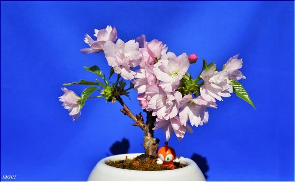 20180302桜の盆栽