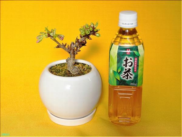 02-14桜の盆栽1