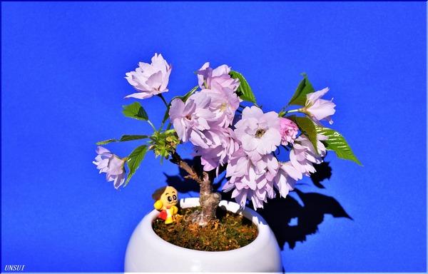 20180303桜の盆栽