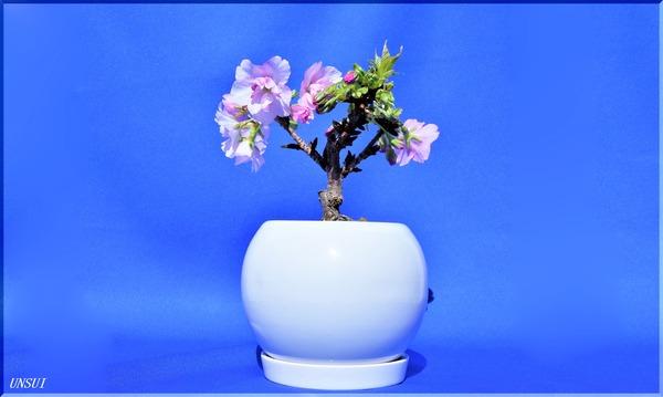20180220桜の盆栽-2