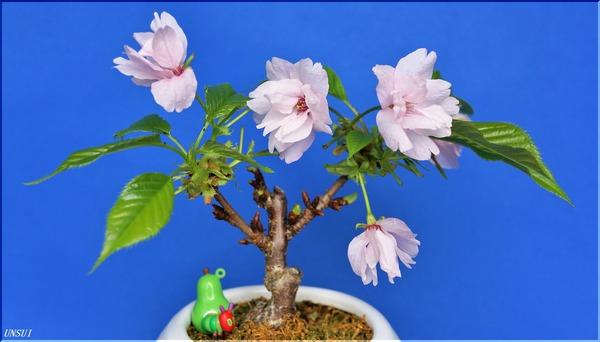 20180308桜の盆栽