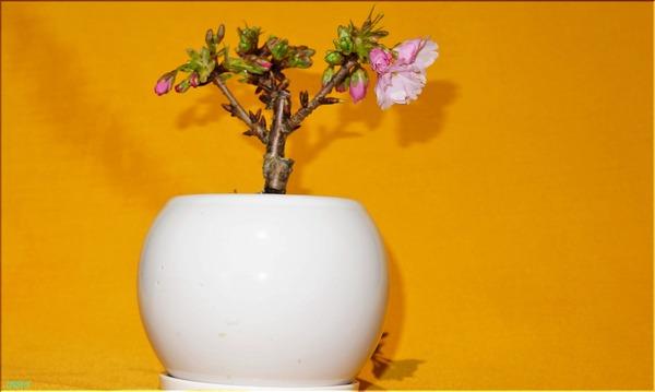 02-18桜の盆栽3B
