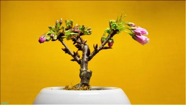 02-17桜の盆栽1