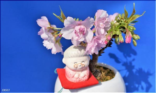 20180221桜の盆栽(婆ちゃん)