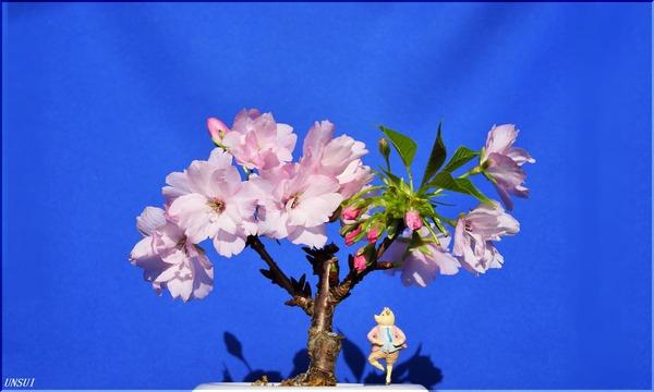 20170227桜の盆栽